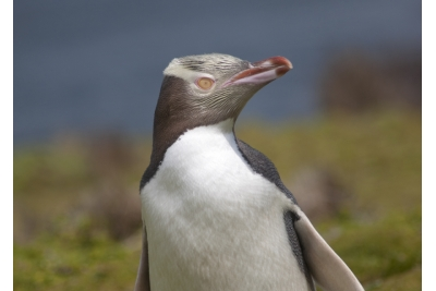 Albatros/Pingüinos y Castillo Larnach