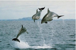 Observar/Nadar con delfines en 'Bay of Islands'